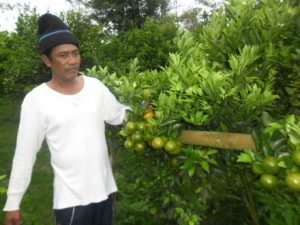Jeruk hasil Pembibitan
