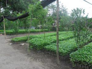 Bibit Kayu Hutan -Kebun